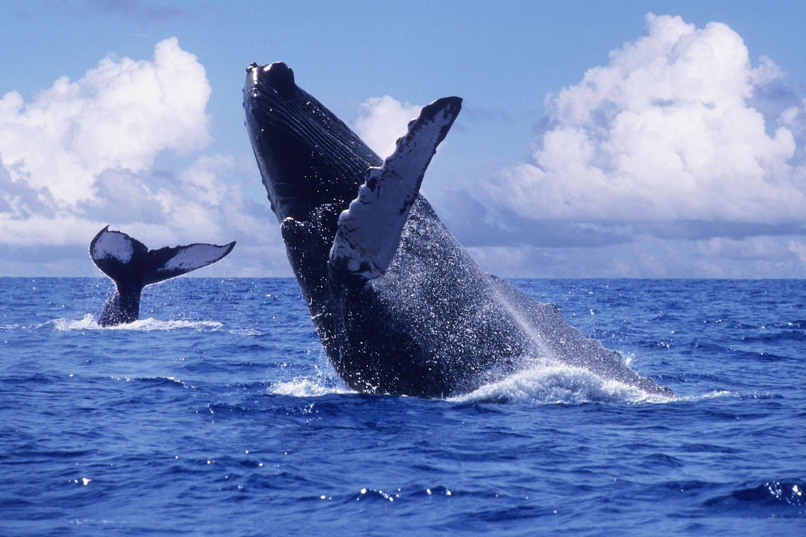 ballenas los cabos baja california sur